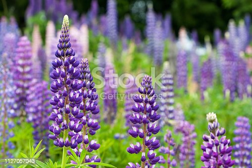 Wild lupines growing in Black Forest, Germany