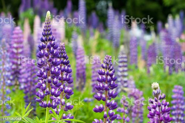 Photo of Wild lupines growing in Black Forest, Germany