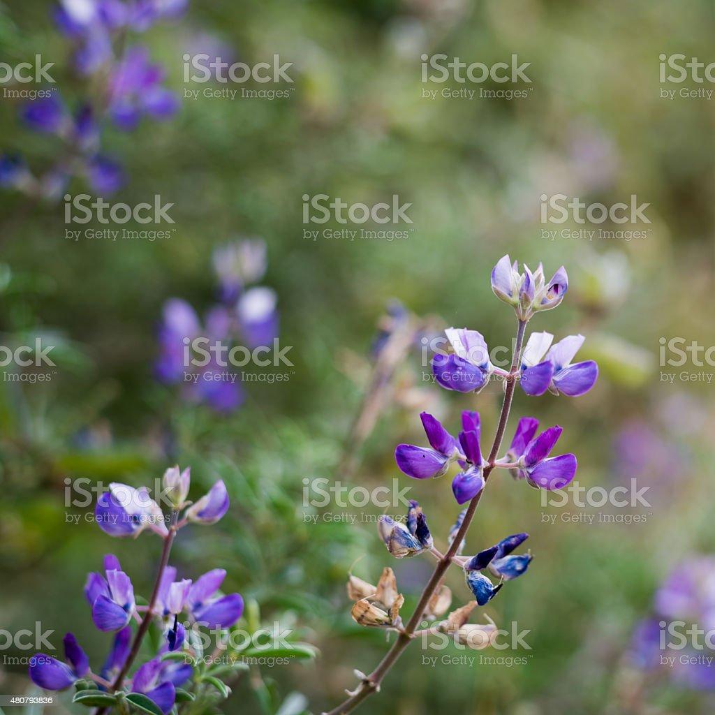 Wild Lupines stock photo