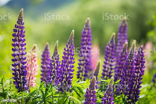 Photo of wild Lupins in Arrowtown, New Zealand