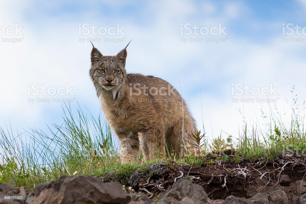 Wild Lynx royalty-free stock photo