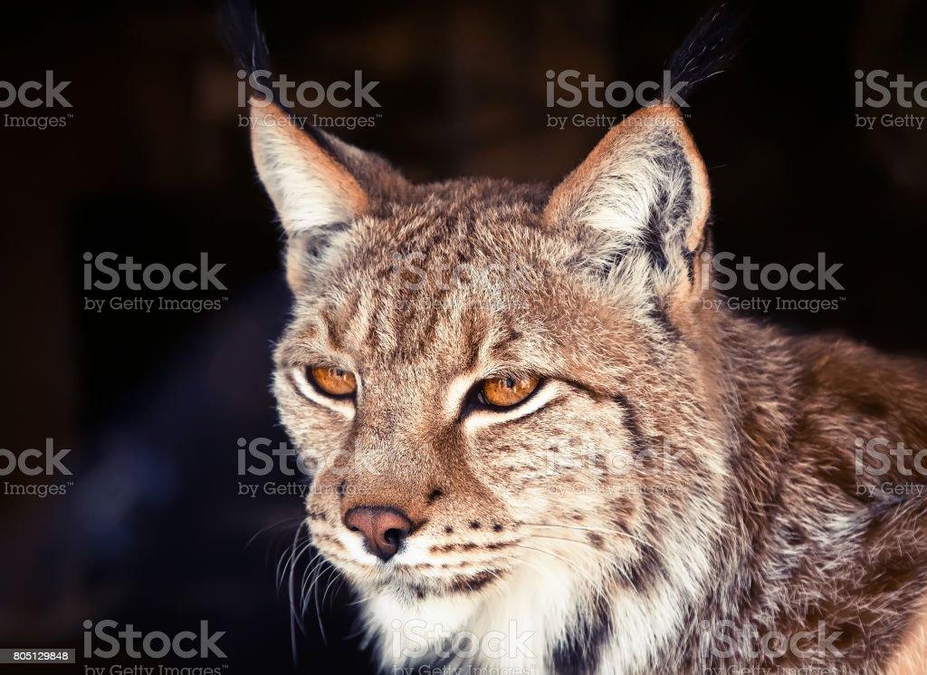 wild lynx stock photo