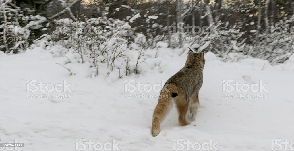 Wild Lynx Retreating Into Woods stock photo