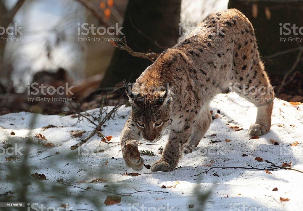 Wild lynx walk on snow in winter royalty-free stock photo