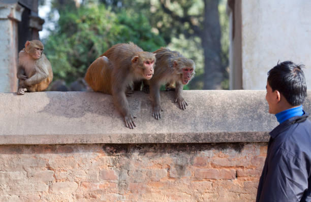 Wild macaque monkeys attack a young man on the street stock photo