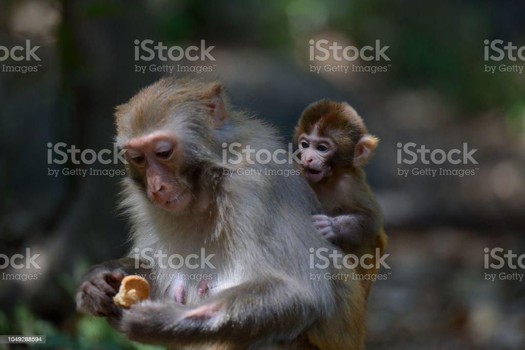 Wilde Makaken des täglichen Lebens-Eatting Essen weibliche Affen – Foto