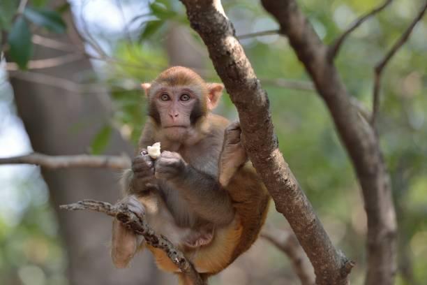Wilde Makaken des Alltagsaffen sitzen auf einem Ast – Foto