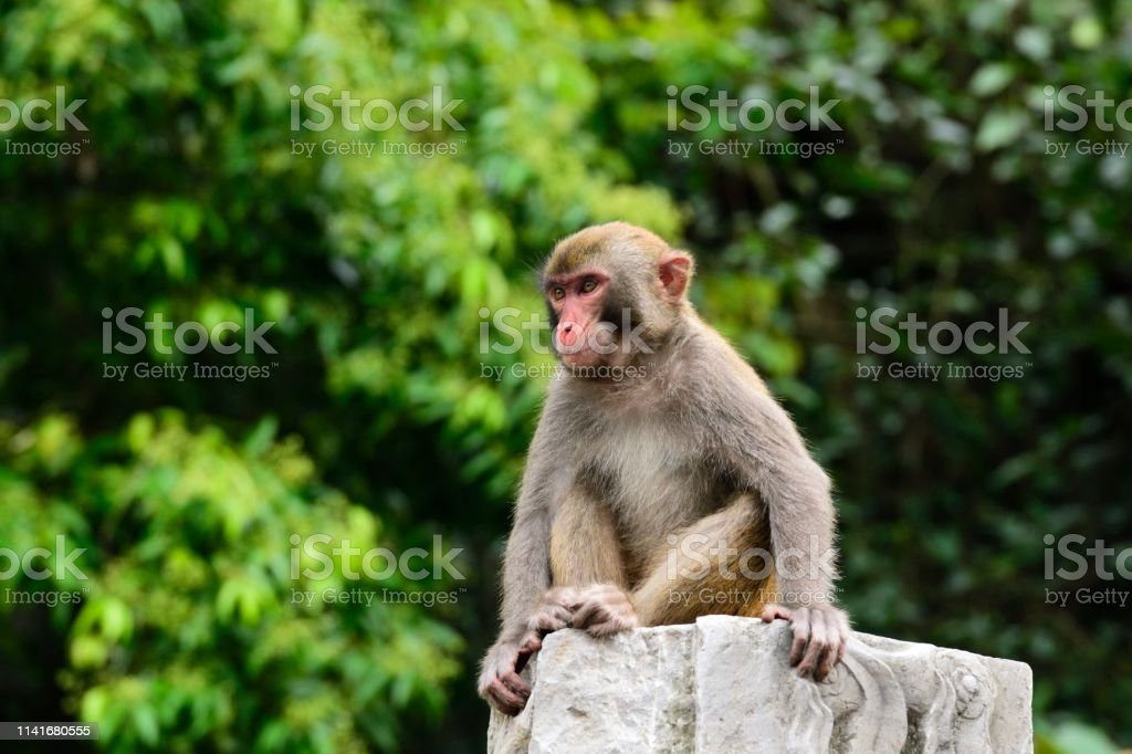 Wild macaques of daily life-Monkey sitting there A young monkey sits on a peristele . This is a wild macaque population,They live in the hills and  woods  of Guilin,It already has more than 43 years. Because people's care and love,The wild population is growing. Animal Stock Photo