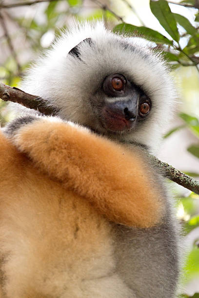 Looking downwards while hanging from a branch, a critically endangered wild Diademed sifaka gazes in the rainforest canopy in Mantidia - Andasibe National Park.