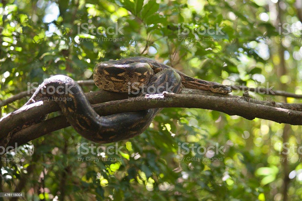 Wild Madagascar ground boa snake Nosy Komba island rainforest tree stock photo