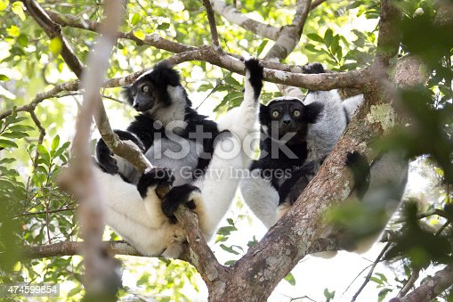 A pair of critically endangered black and white wild indri lemurs sit side by side in the rainforest canopy in Mantidia - Andasibe National Park, also known by Perinet in the eastern rainforest of Madagascar.