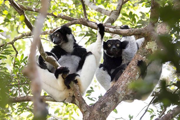 Wild Madagascar Indri pair rainforest canopy Perinet Andasibe National Park stock photo