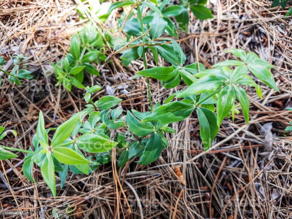 Planta salvaje rubia - foto de stock