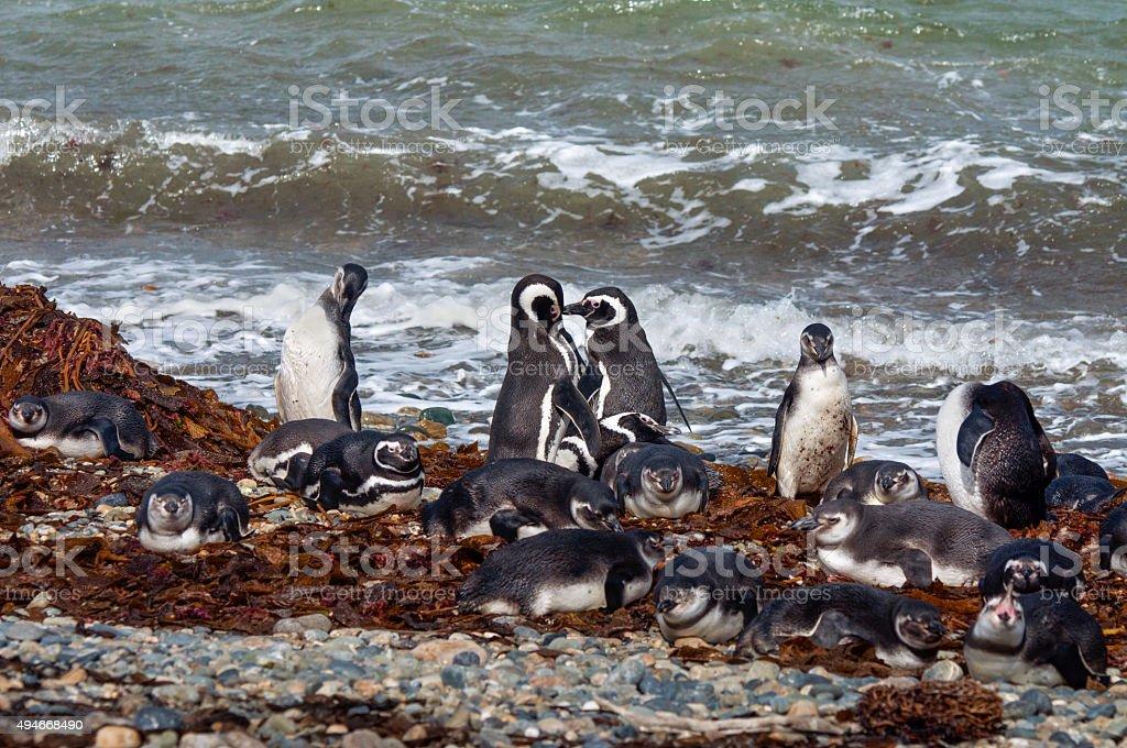 Wild magellanic penguins stock photo