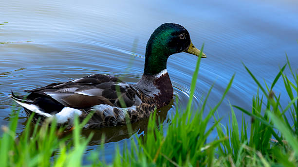 Wild male duck swimming on the pond stock photo