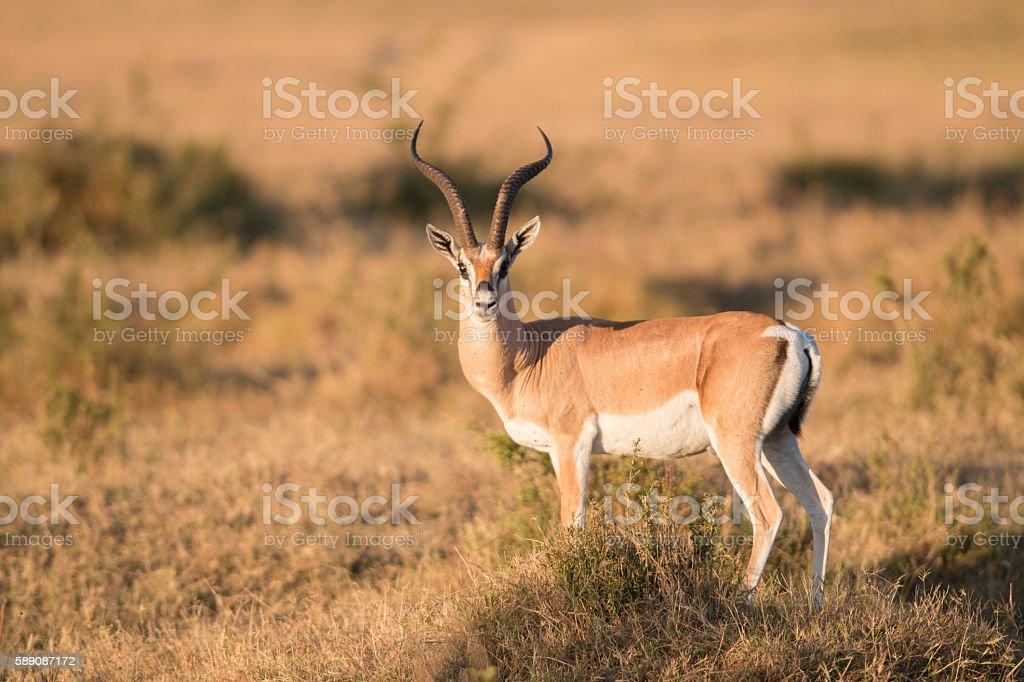 Wild Male Impala, Kenya stock photo