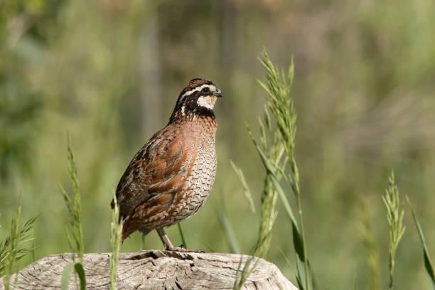 Wild male northern bobwhite quail bird perched log Sedalia Colorado copy space stock photo