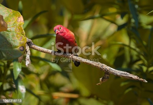 This image shows a wild male red-billed firefinch (Lagonosticta senegala) perched in a tree, looking at the camera.