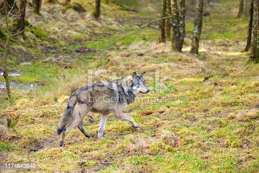 Wild male wolf walking in the forest in a autumn colored forest. Sneaks silent in the grass with his tongue out.