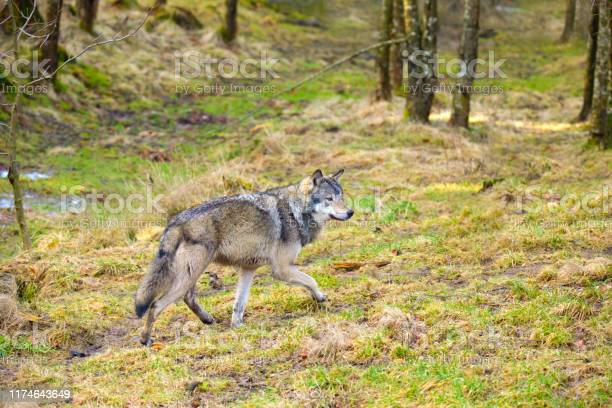 Wild Male Wolf Walking In The Forest In The Autumn Colored Forest - Fotografias de stock e mais imagens de Animal