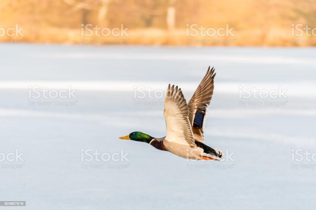 Wild Mallard Duck Flying Over The Frozen Lake Stock Photo More