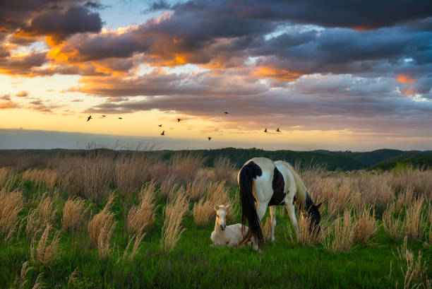 Wild mare grazing as colt sits by stock photo