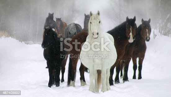 Pregnant wild mares watch curiously on a cold winter morning.