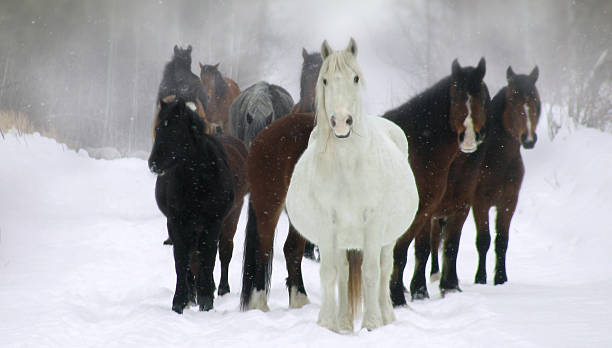 Wild Mares In Winter Pregnant wild mares watch curiously on a cold winter morning. foal young animal stock pictures, royalty-free photos & images