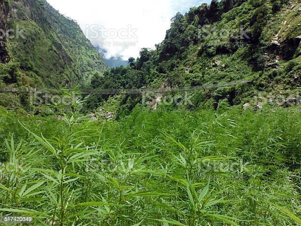 Photo of Wild Marijuana Field before a Suspension Bridge in the Himalayas