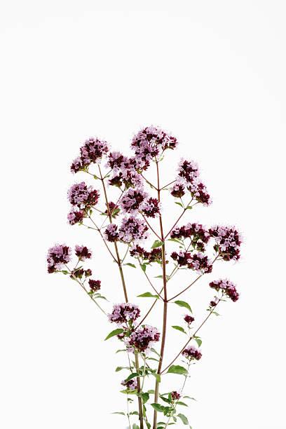 Wild Marjoram (Origanum vulgare) stock photo