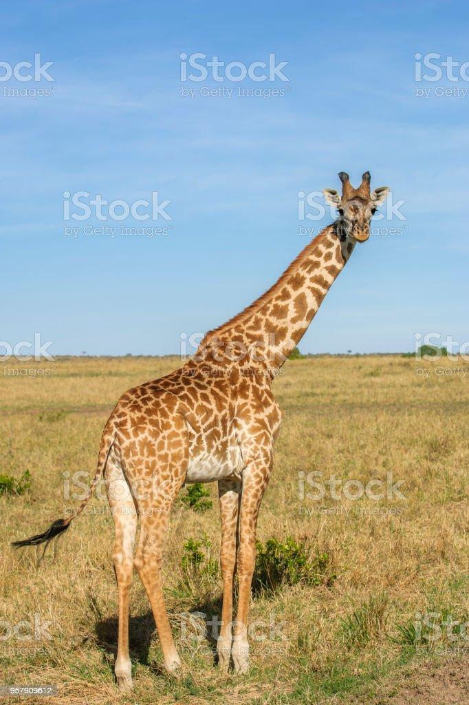 Wild jirafa Masai en el Mara - foto de stock