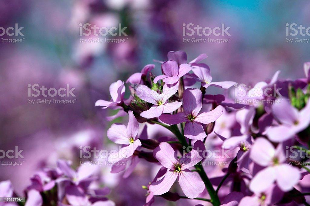 Wild Mauve Pink Phlox Flowers stock photo