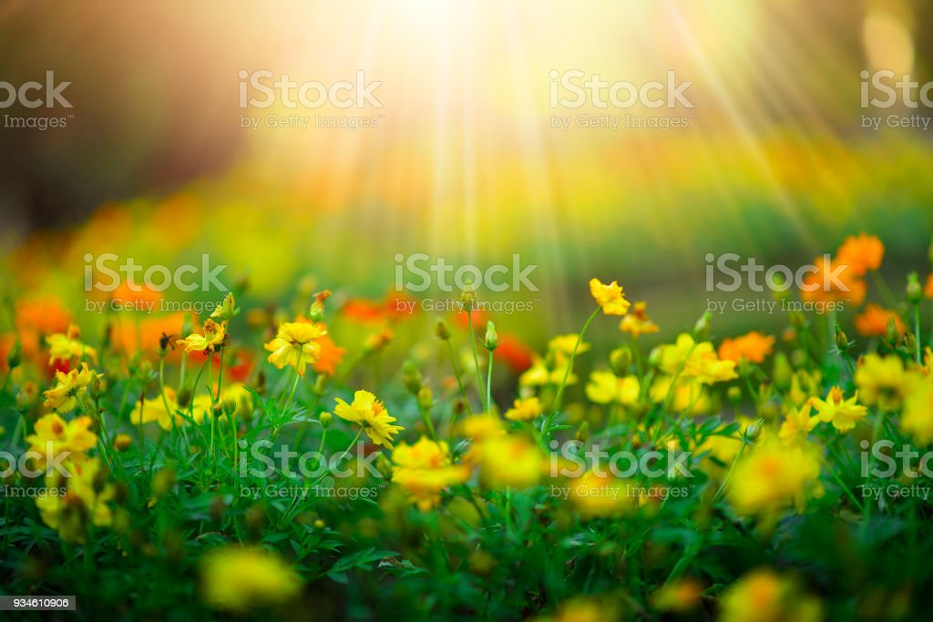 Wild meadow beautiful flower on morning sunlight background.(Selective Focus) stock photo