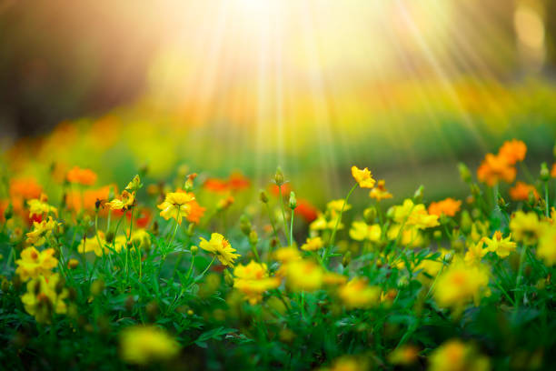 wild meadow beautiful flower on morning sunlight background.(selective focus) - spring stock pictures, royalty-free photos & images