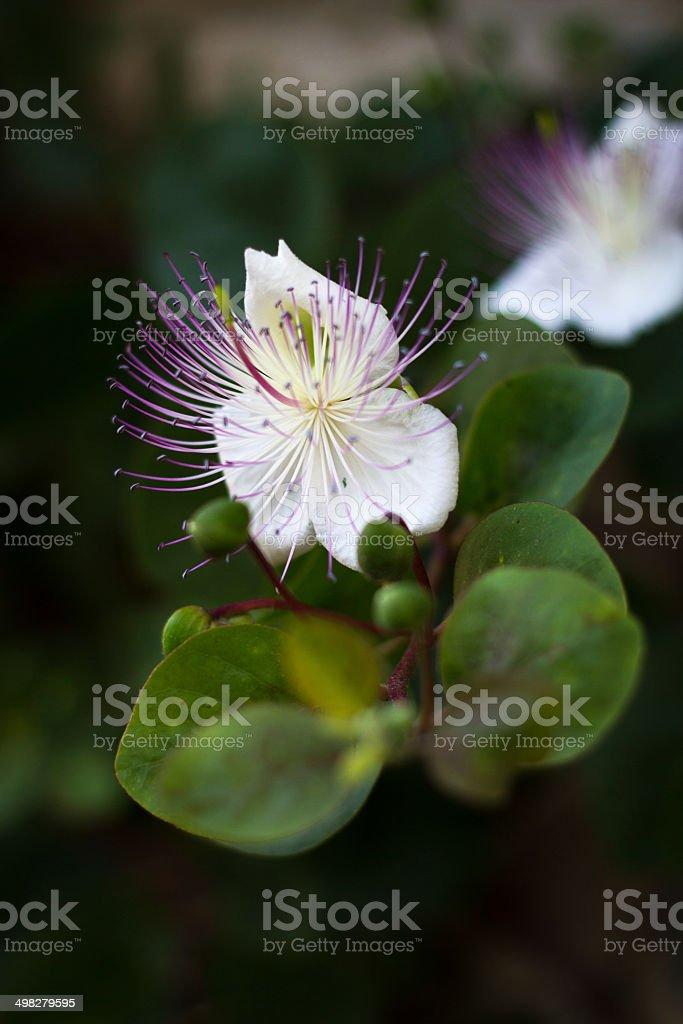 Wild Mediterranean Caper Flower in First Morning Light, Italy stock photo