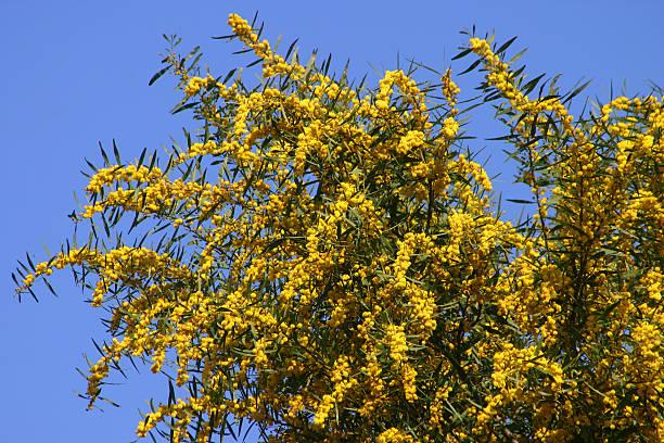 Wild Mimosa stock photo
