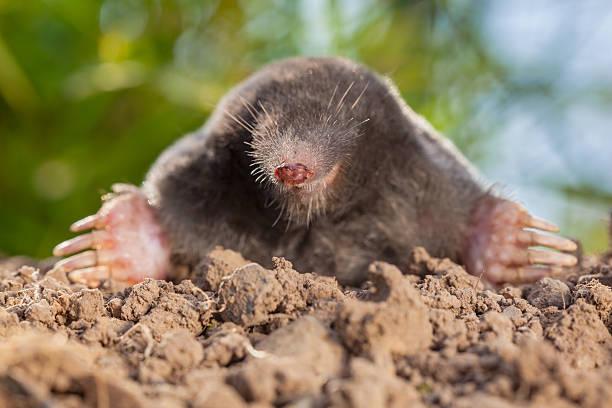 Wild Mole (Talpa europaea) in Natural Environment on a Molehill The European mole or Common Mole is a mammal of the order Soricomorpha mole animal stock pictures, royalty-free photos & images