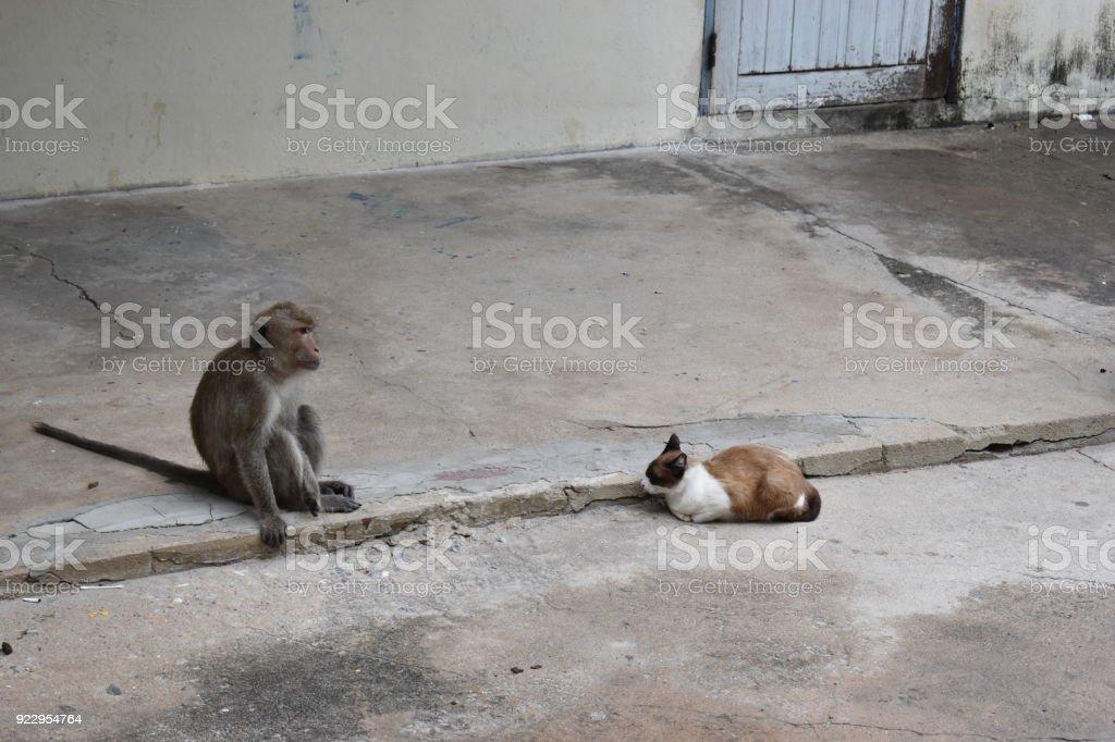 Wild monkey and a cat sitting on the street at the monkey mountain Khao Takiab in Hua Hin, Thailand, Asia stock photo
