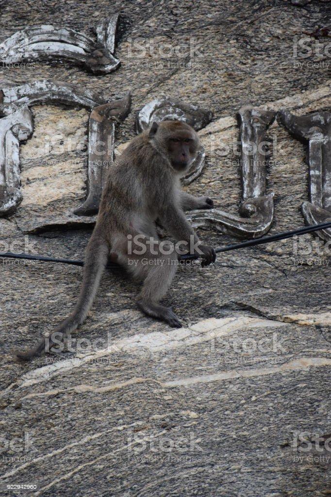 Wild monkey climbs down a wall at the monkey mountain Khao Takiab in Hua Hin, Thailand, Asia stock photo