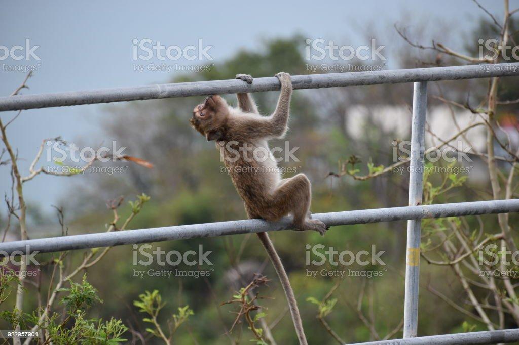 Wild monkey climbs up the railing at the monkey mountain Khao Takiab in Hua Hin, Thailand, Asia stock photo