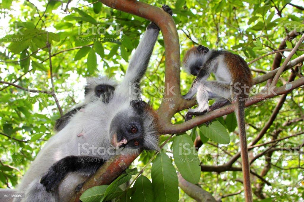Wild monkey colobus stock photo