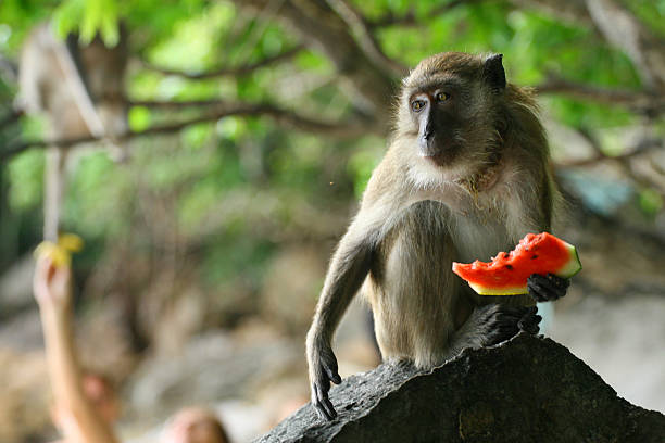 Wild monkey eating watermelon stock photo