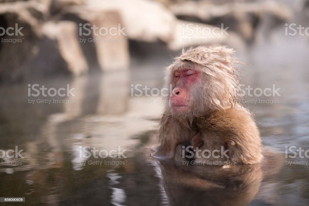 A wild monkey enter a hot spring, Snow monkey in Nagano, Japan. stock photo