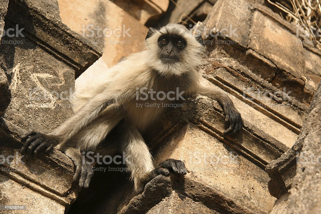Wild monkey looks down from abandoned building in India royalty-free stock photo