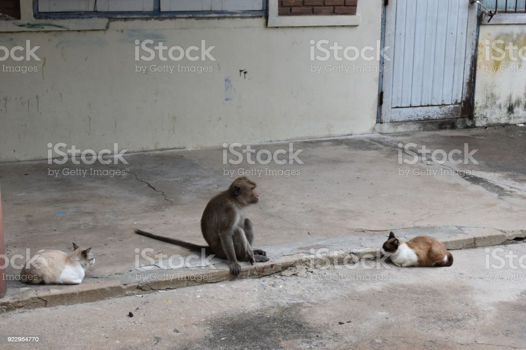 Wild monkey sitting between two cats on the street at the monkey mountain Khao Takiab in Hua Hin, Thailand, Asia stock photo