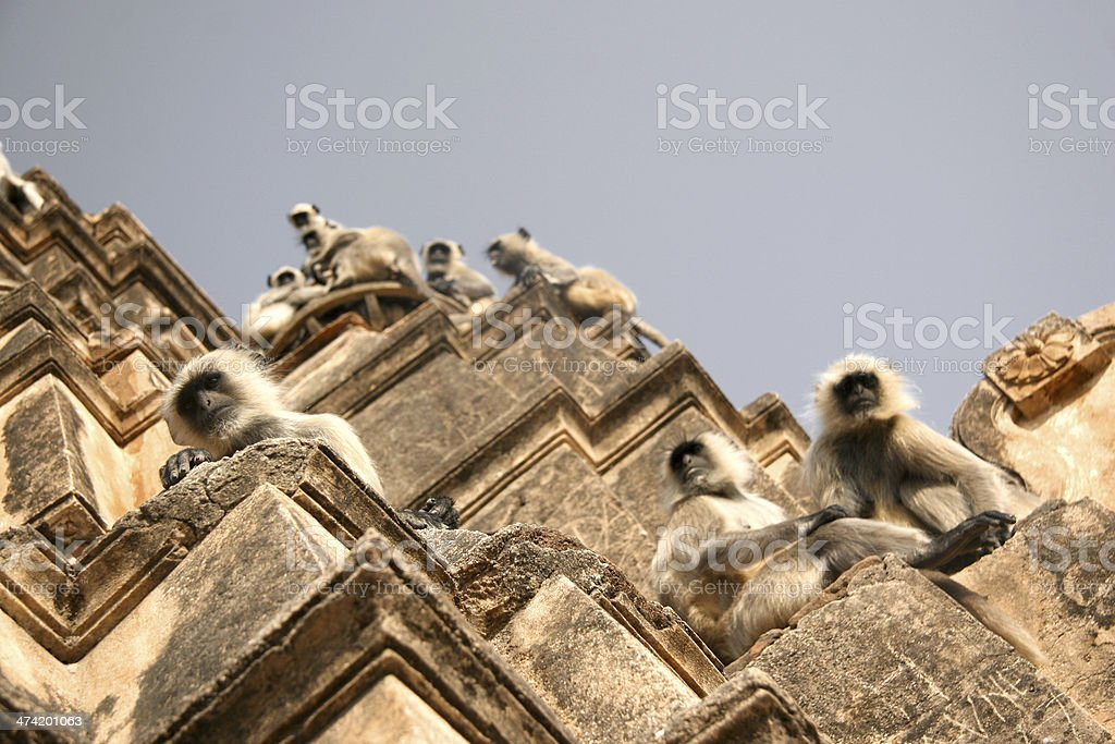 Wild monkeys climb abandoned building in India royalty-free stock photo