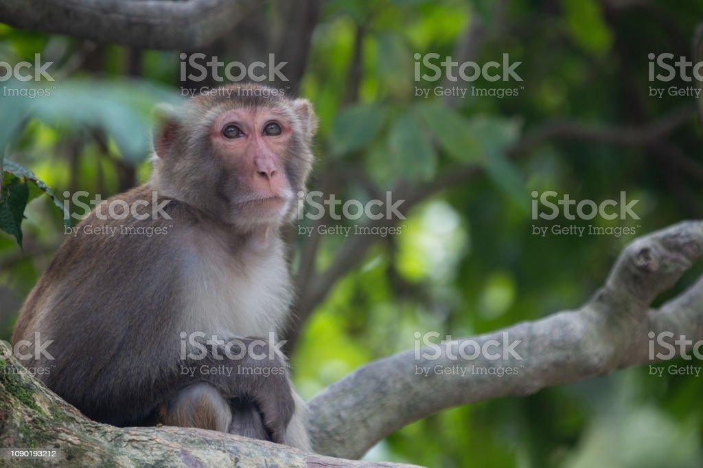 Wild Monkeys of Kam Shan Country Park, Hong Kong stock photo