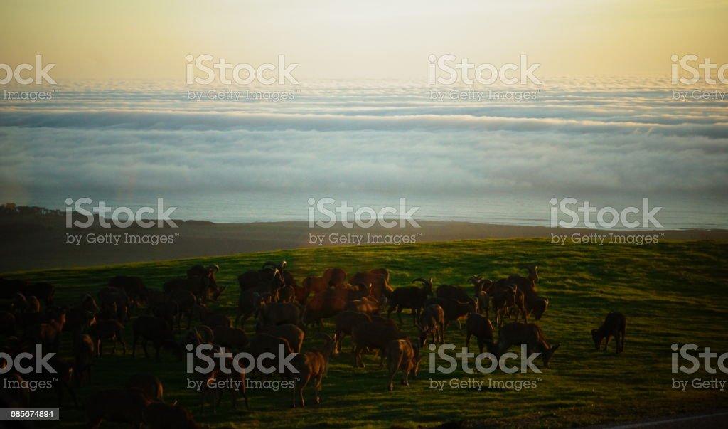 野生麋鹿、 公牛與小牛。 免版稅 stock photo