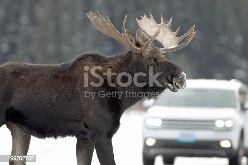 Walking across the Northeast Entrance Road, a wild bull moose crosses in front of a vehicle in the Lamar Valley of Yellowstone National Park, Wyoming.