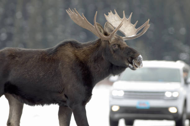 Wild Moose crosses road vehicle Lamar Valley Yellowstone National Park Wyoming stock photo